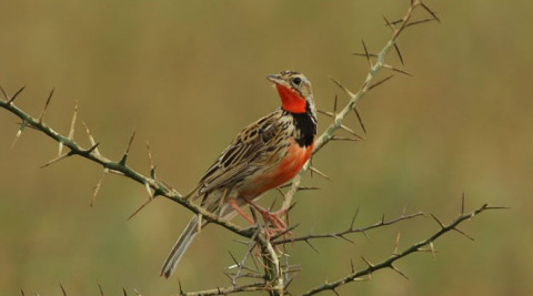 Kenya Birding Safari for 20 days